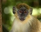 Con người truyền vi khuẩn sang cho loài khỉ xanh