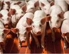 Nội tạng người được phát triển trên... lợn