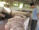 """Cục trưởng Chăn nuôi: """"Trung Quốc dừng mua là chết!"""""""