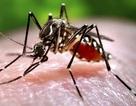 Phát hiện muỗi tại Việt Nam nhiễm vi rút Zika