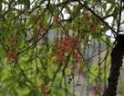 Lộc vừng Hồ Gươm rắc mưa hoa chờ gót son xuống phố