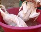 """Nhựa thông nhổ lông gà, vịt """"siêu nhanh"""" có độc hại?"""