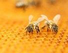 Loài ong mật bị đe dọa bởi vi rút gây biến dạng cánh