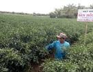 ĐBSCL: Ớt trúng mùa được giá người trồng lãi 250 triệu/ha