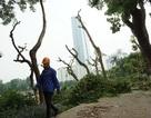 Hà Nội tiếp tục dịch chuyển 106 cây cổ thụ trên đường Kim Mã