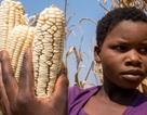 Giống cây trồng mới không thể thích ứng kịp với nóng lên toàn cầu