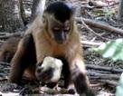 Loài khỉ đã biết dùng dụng cụ từ ít nhất 700 năm trước