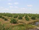 Một ngày tại trang trại trồng chanh lớn nhất Đồng bằng sông Cửu Long