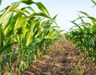 Đột phá về biến đổi gen ở các hạt ngũ cốc