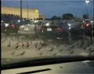 Hàng trăm con chim đen đổ bộ xuống bãi đỗ ô tô