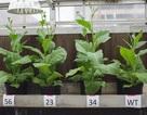 Cây trồng được biến đổi để sử dụng hiệu quả ánh nắng mặt trời