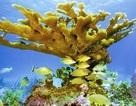 San hô trở thành loài động vật cao tuổi nhất thế giới