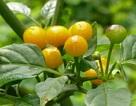 Chiêm ngưỡng loại ớt đắt nhất thế giới với giá nửa tỷ một kg