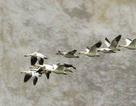 10.000 con ngỗng bị chết do hạ cánh xuống hồ nước độc