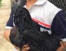 Gần 20 triệu đồng/cặp, đại gia lùng mua gà đen Indonesia để cầu may