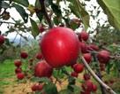 """Mục sở thị """"táo thần kỳ"""" nông dân Nhật trồng để 4 năm không thối, không hỏng"""