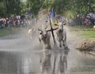 Vui lễ hội đua bò cùng đồng bào Khmer vùng Bảy Núi