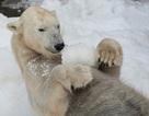 Công việc lạnh nhất hành tinh: Gặp gỡ chuyên gia gấu Bắc Cực