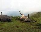 Sét đánh chết 15 con trâu, thiệt hại ước tính gần 600 triệu đồng