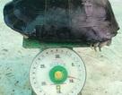 Cụ rùa 9kg mắc cạn trong ao tôm