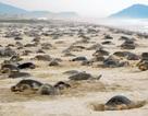 """Kỳ thú hàng nghìn con rùa Golfinas """"đổ bộ"""" vào bờ biển Mexico"""