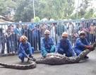 Người dân bắt sống trăn khổng lồ nặng 100kg nuốt chửng con dê