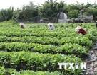 Năm bệnh nhân bị ngộ độc do ăn rau vừa phun thuốc trừ cỏ