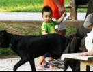 Nỗi ám ảnh chó không rọ mõm trên đường phố Hà Nội