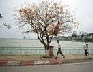Cảnh sắc tuyệt đẹp mùa lộc vừng thay lá tại Hà Nội