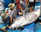 """5 ngư dân vật lộn bắt cá ngừ đại dương """"khủng"""" nặng 280 kg"""