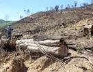 Khởi tố hình sự vụ hơn 43 ha rừng tự nhiên bị xóa sổ