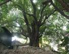 """Chiêm ngưỡng cây thị cổ thụ được người dân coi như """"báu vật"""" ở Hà Nội"""