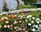 Mãn nhãn vườn hồng rộng hàng trăm mét đẹp như cổ tích của mẹ Việt ở Úc