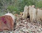 Khởi tố vụ lâm tặc đốn hạ trên 23 m3 gỗ bằng lăng