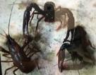 Vụ doanh nghiệp nuôi sinh vật lạ: Sẽ truy nguồn gốc số tôm hùm đỏ