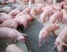 Bộ Nông nghiệp ra công văn hỏa tốc giải cứu ngành chăn nuôi