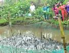 """Hàng trăm con cá lóc """"nhảy múa"""" phục vụ du khách mỗi ngày"""