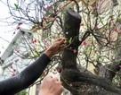 Chiêm ngưỡng đào rừng thế độc, giá trên 100 triệu ở Hà Nội