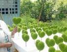 Kiếm trên chục triệu mỗi tháng nhờ nghề lạ: Trồng cỏ may mắn