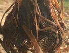 """Bí ẩn cây lúa biến dạng cạnh KCN, phía sau việc """"đá bóng"""" trách nhiệm là gì?"""
