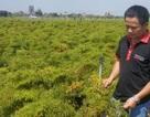 Cầm bằng đại học về quê trồng đinh lăng, chàng trai trẻ thu gần 1 tỷ đồng/năm