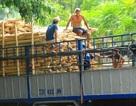 """Thương lái Trung Quốc lại """"giở trò"""" ngừng thu mua dăm gỗ để ép giá?"""