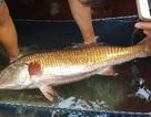 Bắt được cá nặng 8 kg, nghi là cá sủ vàng