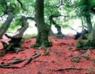 Ngắm quần thể lộc vừng trăm tuổi trải thảm đỏ rực ở Phú Thọ