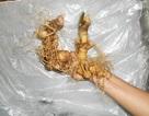 Cây sâm Ngọc Linh trở thành sản phẩm Quốc gia