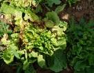 Nông dân lao đao vì hàng trăm ha rau, hoa bị nhiễm bệnh
