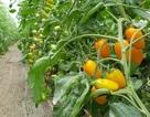 Kiếm trăm triệu mỗi tháng nhờ độc chiêu trồng cà chua từ... trứng gà và sữa