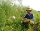 Loài cây trồng 1 lần thu 10 năm, kiếm 2 triệu đồng/ngày