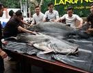 """Cặp """"thủy quái"""" 200 kg xuất hiện gây xôn xao Đà Nẵng"""