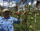 Đau đớn phát hiện 1200 gốc chanh leo bị chặt phá tan hoang trong đêm!
